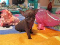 T- CUP CHIHUAUA 'S PUPPY ONE CHOLTE MALE READY TO GO TO