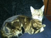 TICA registered Bengal kittens, 4 brown marbled males.