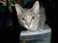 Tabby - Amaya - Medium - Young - Male - Cat You can