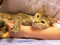 Tabby - Angel - Small - Adult - Female - Cat Angel is 1