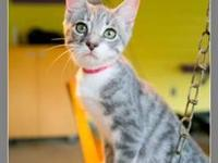 Tabby - Athos Blue Tabby Baby - Small - Baby - Male -