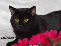 Tabby - Black - Chicken - Medium - Adult - Male - Cat