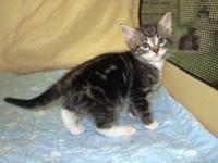 Tabby - Black - Marbles - Medium - Baby - Female - Cat