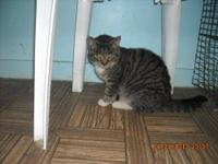 Tabby - Black - Marvin - Medium - Young - Male - Cat