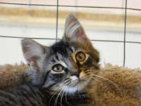 Tabby - Black - Michael - Medium - Young - Male - Cat