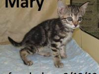 Tabby - Black - Molly - Medium - Baby - Female - Cat