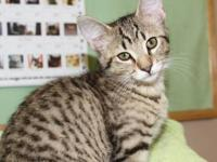 Tabby - Black - Newman - Medium - Baby - Male - Cat