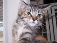 Tabby - Black - Tally - Medium - Baby - Female - Cat *
