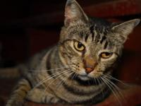Tabby - Black - Vader - Medium - Young - Male - Cat