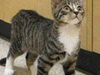 Tabby - Brown - 2715 - Medium - Baby - Male - Cat These