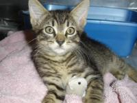 Tabby - Brown - Albany - Small - Baby - Male - Cat