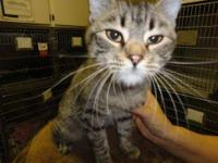 Tabby - Brown - Angel - Small - Young - Female - Cat