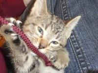 Tabby - Brown - Annie - Medium - Baby - Female - Cat