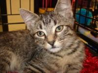 Tabby - Brown - Apple - Small - Young - Female - Cat My