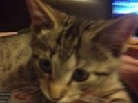 Tabby - Brown - Archie - Medium - Baby - Male - Cat