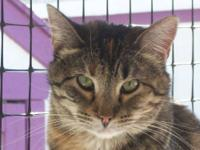 Tabby - Brown - Aspen - Large - Adult - Female - Cat