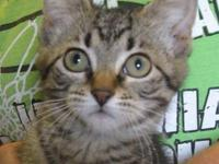 Tabby - Brown - Bambi - Medium - Baby - Female - Cat