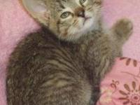Tabby - Brown - Bea - Medium - Baby - Female - Cat Bea
