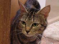 Tabby - Brown - Berryville Moma - Small - Adult -