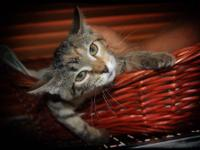 Tabby - Brown - Blynken - Medium - Baby - Female - Cat