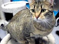 Tabby - Brown - Cherry - Small - Young - Female - Cat