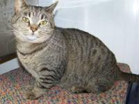 Tabby - Brown - Chevy - Medium - Adult - Female - Cat