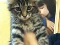 Tabby - Brown - Dora - Medium - Baby - Female - Cat I