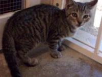 Tabby - Brown - Drew - Medium - Baby - Male - Cat very