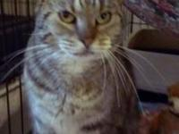 Tabby - Brown - Faith - Medium - Adult - Female - Cat