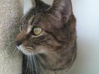 Tabby - Brown - Fedora - Reduced Adoption Fee - Medium