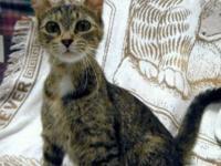 Tabby - Brown - Genna - Medium - Adult - Female - Cat