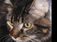 Tabby - Brown - Georgie - Medium - Adult - Female -