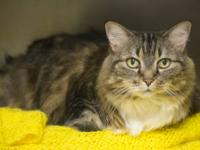 Tabby - Brown - Ginny7776 - Medium - Senior - Female -