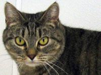 Tabby - Brown - Gypsy - Medium - Adult - Female - Cat
