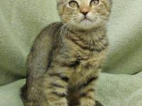 Tabby - Brown - Haley - Medium - Young - Male - Cat