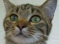 Tabby - Brown - Hickory Id-24606 - Large - Young -