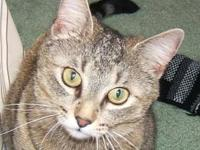 Tabby - Brown - Honey - Medium - Adult - Female - Cat