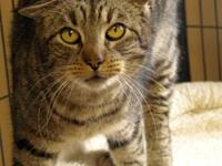 Tabby - Brown - Honor - Small - Young - Female - Cat