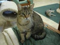 Tabby - Brown - Isabella - Large - Young - Female -