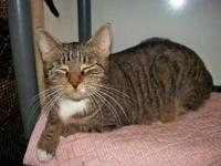 Tabby - Brown - Jake - Large - Adult - Male - Cat Jake