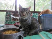 Tabby - Brown - Jess - Small - Young - Male - Cat