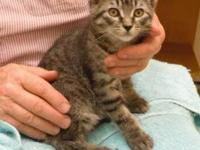 Tabby - Brown - Joe - Medium - Baby - Male - Cat All