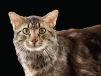 Tabby - Brown - Johnny - Medium - Adult - Male - Cat