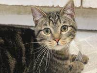 Tabby - Brown - Kr Tabby - Medium - Baby - Male - Cat