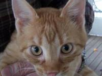 Tabby - Brown - Kringle - Medium - Young - Male - Cat