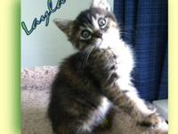 Tabby - Brown - Layla - Medium - Baby - Female - Cat NO