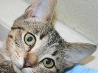 Tabby - Brown - Layla - Medium - Young - Female - Cat