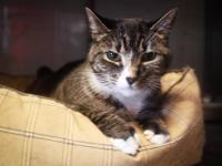 Tabby - Brown - Lily - Medium - Adult - Female - Cat
