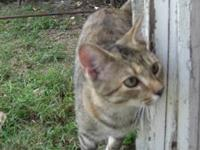 Tabby - Brown - Lucy - Small - Adult - Female - Cat .