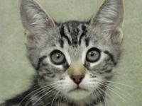 Tabby - Brown - Macey - Medium - Young - Female - Cat